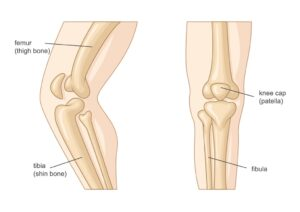 bones of the leg diagram