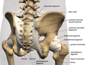 illustration of the anatomy of the hip, featuring bones and ligaments