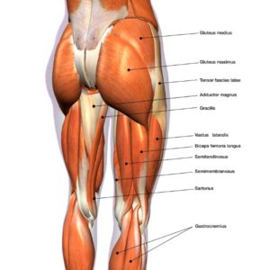 illustration of muscles found in hips and thighs, to just below the knee